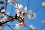 韮崎 桜1