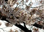 韮崎 桜3